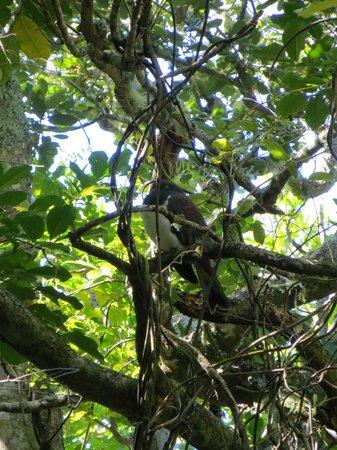 Tiritiri Matangi Island: Wood pigeon resting in a tree