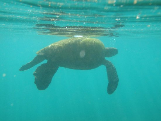 Honokeana Bay: Turtle