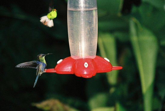 Villa Blanca Cloud Forest Hotel and Nature Reserve: Hummingbird feeders