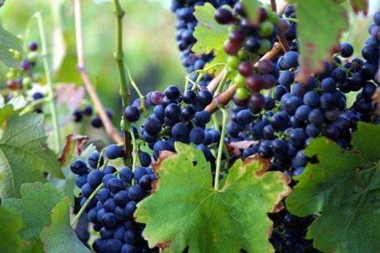Moorebank Vineyard : Our merlot
