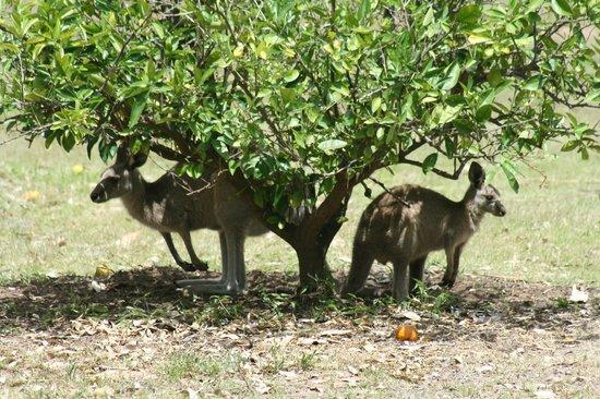 Moorebank Vineyard : Our local Kangaroos