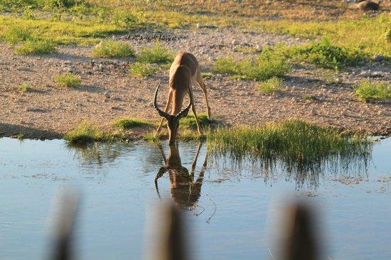 Onguma Bush Camp : also thirsty