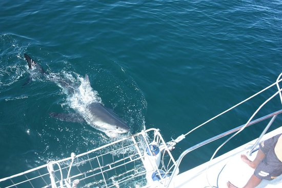 White Shark Africa: 7