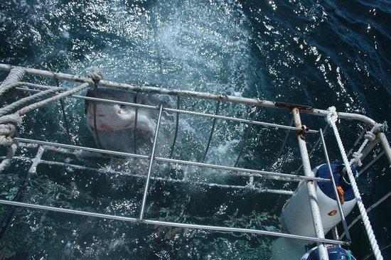 White Shark Africa: 3