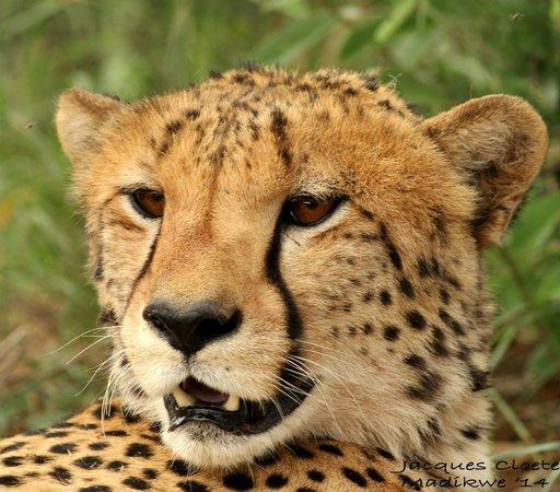Mosetlha Bush Camp & Eco Lodge: Cheeta