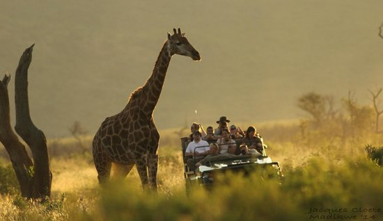 Mosetlha Bush Camp & Eco Lodge: Giraffe