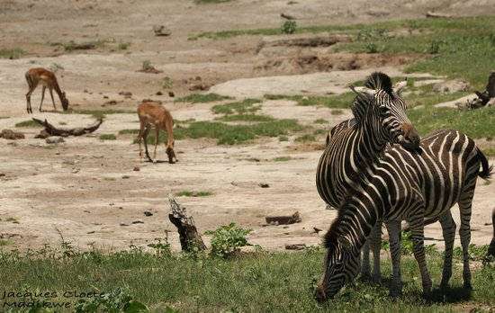 Mosetlha Bush Camp & Eco Lodge: Impala & Zebra