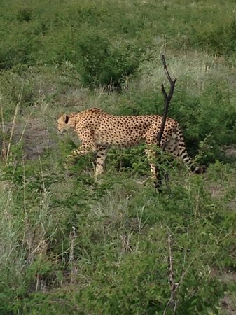 Royal Madikwe Luxury Safari Lodge : Cheetah on game drive