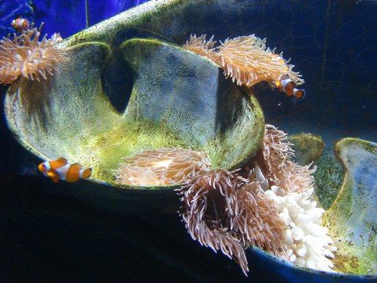 The Lost Chambers Aquarium: Nemo fish