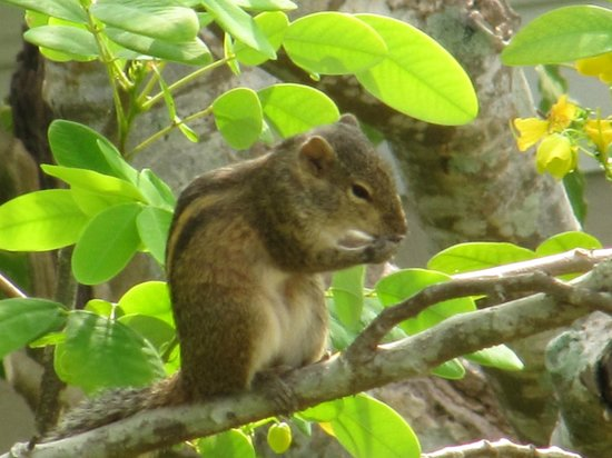 Janus Paradise Rest: Three-Striped Palm Squirrel