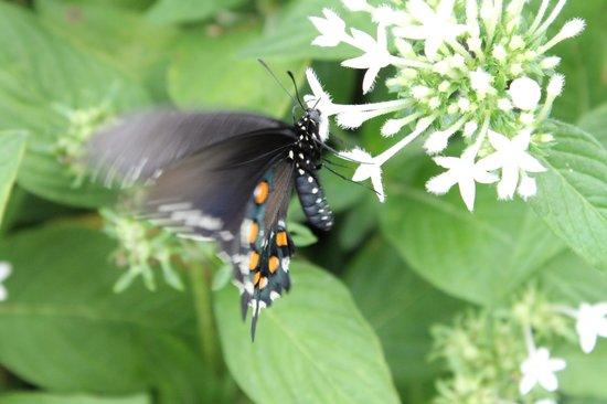 Krohn Conservatory: butterflies