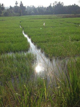 Templeberg Villa: Paddy fields on my early morning walk