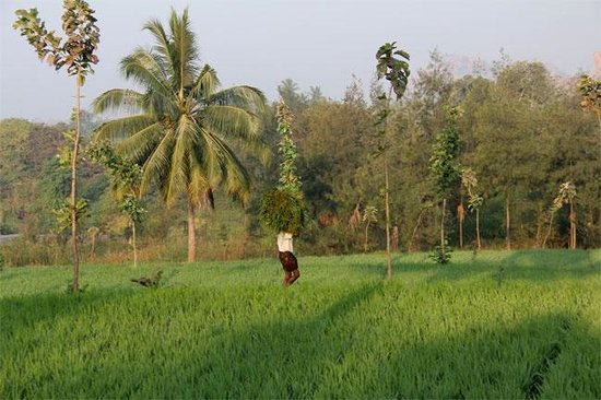 Shanthi Guesthouse: Paddy Fields.