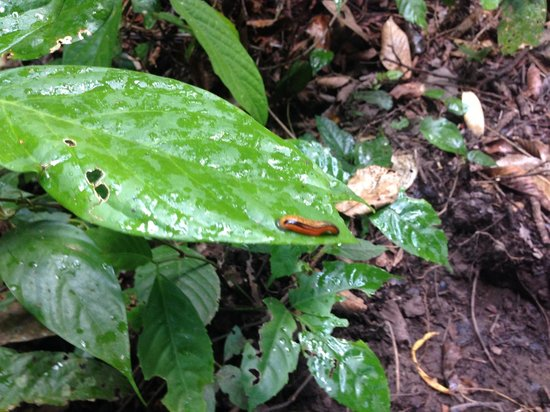 Borneo Rainforest Lodge: Tiger leech
