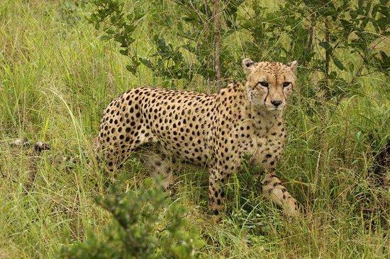 Cheetah Plains : Cheetah on drive