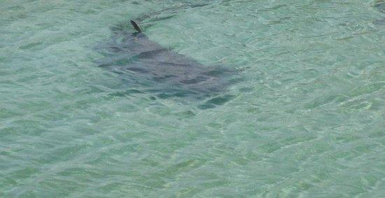 Dolphin Cove: tiburon