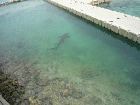 Dolphin Cove: tiburones