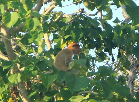 Half Day Klias Wetland River Cruise: Proboscis Monkey
