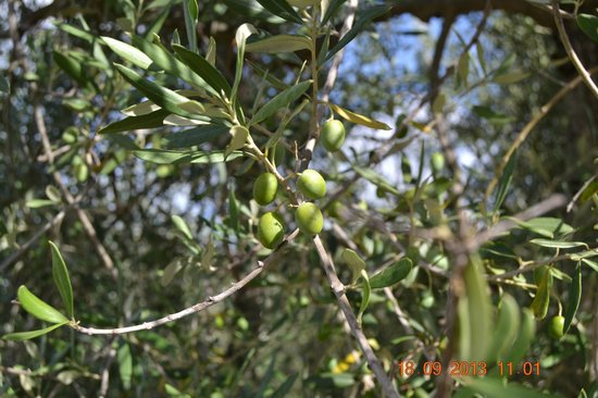 Shore Excursions in Italy - Day Tours: Olive Oil Tastings