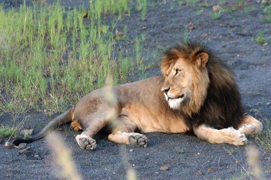 Bonana Tours & Transfers: Lion