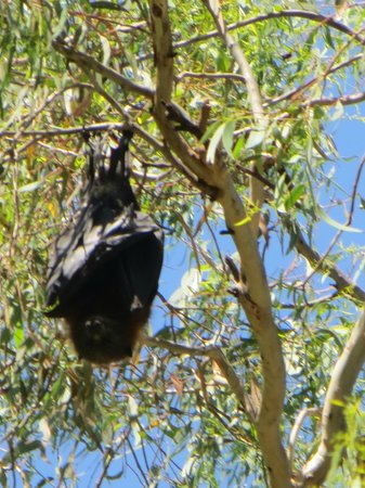 Yarra Bend Park: close up of a flying fox