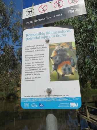 Yarra Bend Park: flying foxes