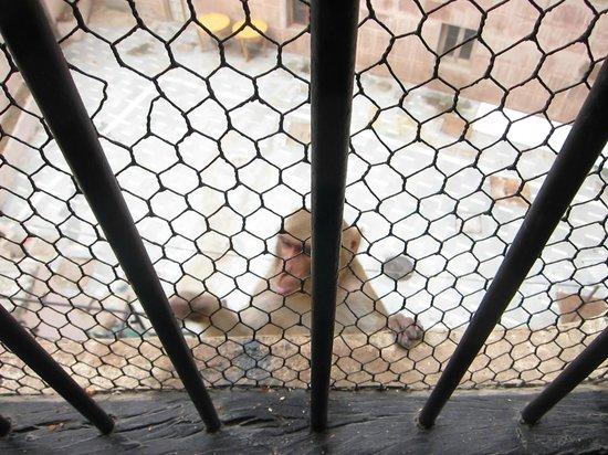 Ram Bhawan Kautilya Society Residence: monkey business! in the morning....