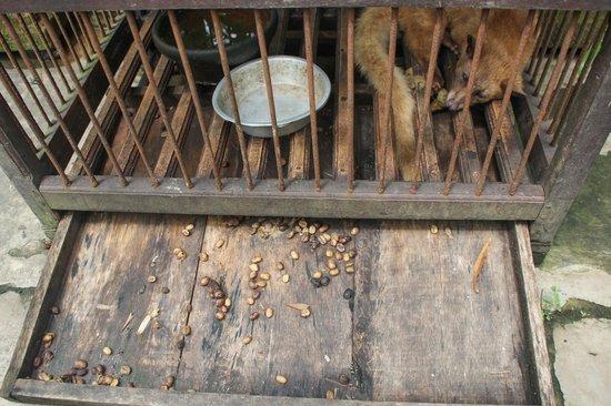 Luwak Civet Coffee Farm: tiny cages
