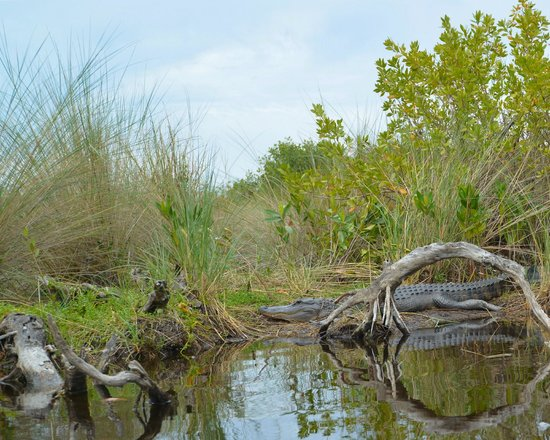 Tour The Glades - Private Wildlife Tours: Gator on the bank