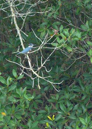 Tour the Glades: Kingfisher