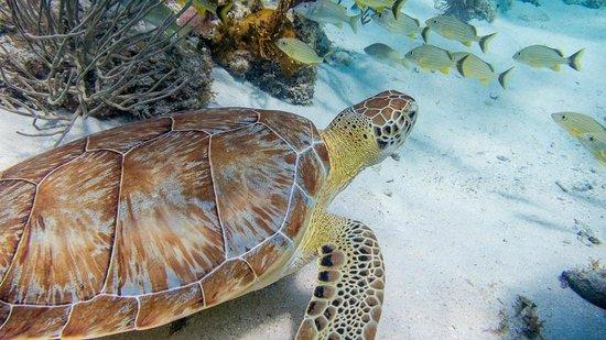Chuck and Robbie's: Sea Turtle