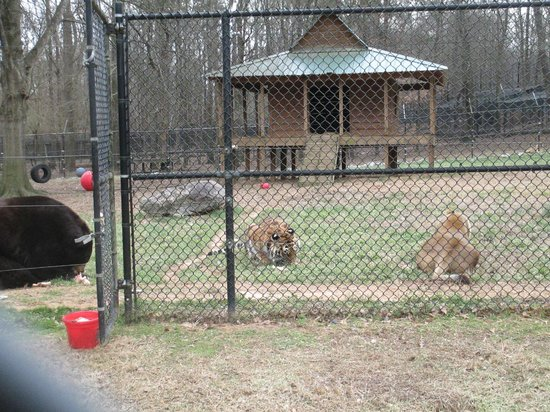 Noah's Ark Rehabilitation Center: Bear, tiger, lion