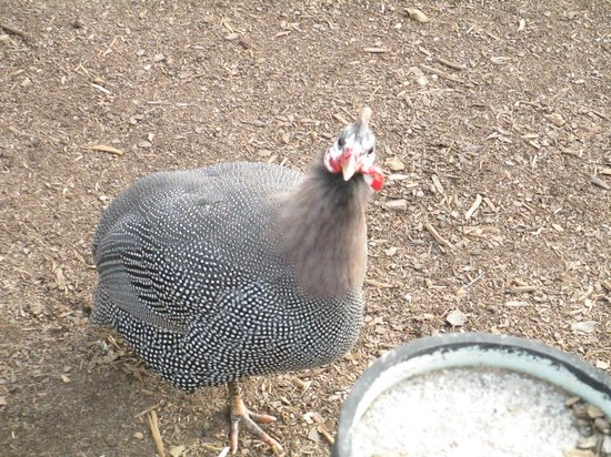 Noah's Ark Rehabilitation Center: guinea hen?