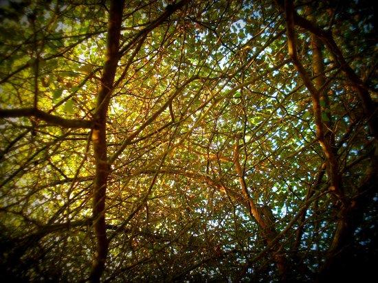 """Back of Beyond - Kahandamodara: """"debara"""" tree"""