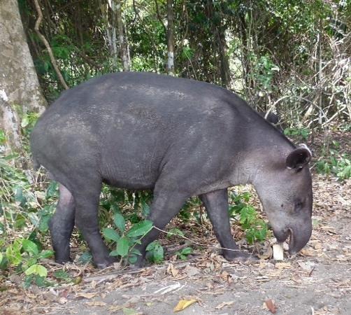 Aguila de Osa Inn: Tapir