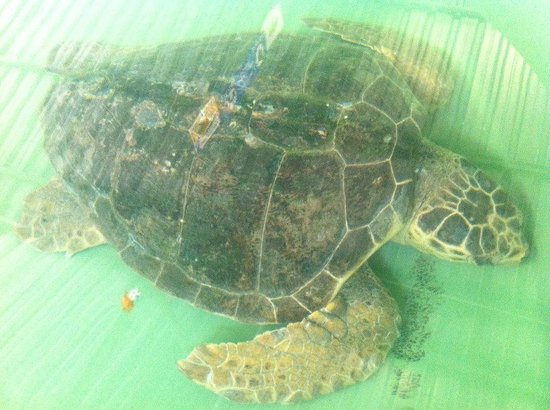 Iztuzu Beach: Turtle at the hospital