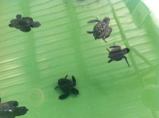 Iztuzu Beach: Baby turtles at the Turtle Hospital