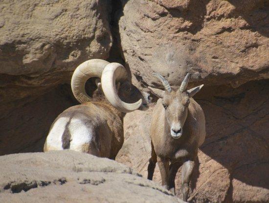 Arizona-Sonora Desert Museum: Desert Bighorn