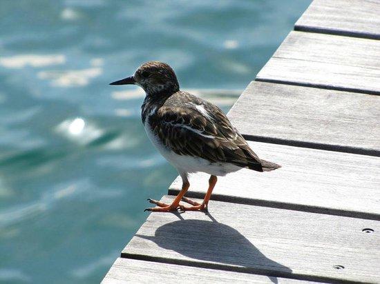Key West Historic Seaport: Ruddy turnstone