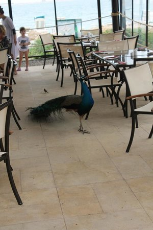 JA Jebel Ali Beach Hotel : Friendly peacock roaming the beach restaurant/bar area