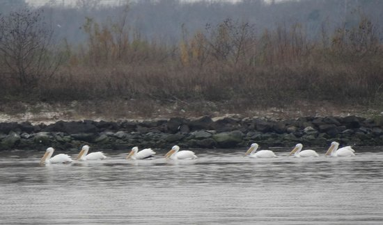 Baytown Nature Center: Pelican