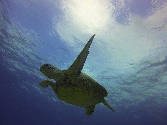 Oahu Diving: Turtle Dive
