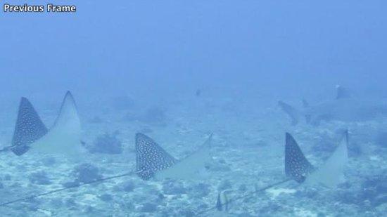Ocean Legends Dive Center: 3 Eagle Rays & White Tip