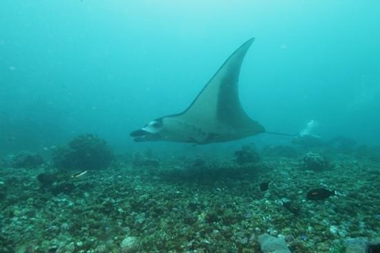 Flores Diving Centre : Manta in Komodo