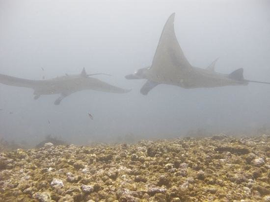 Flores Diving Centre : At Manta Point