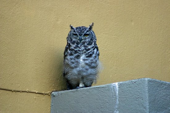Franschhoek Country House & Villas: A Visiting Eagle Owl
