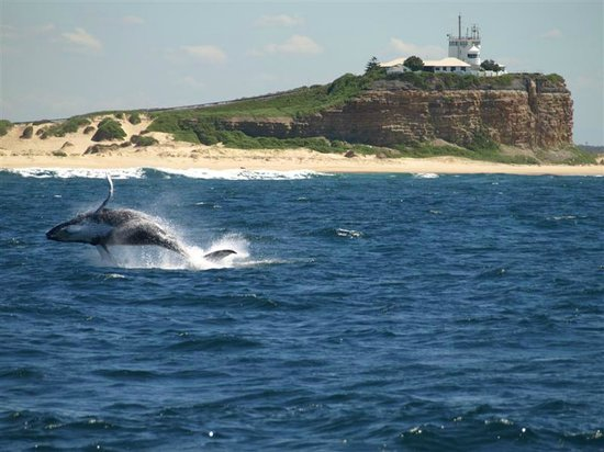 Nova Cruises: Humpback calf breaching in front of Nobbies Lighthouse