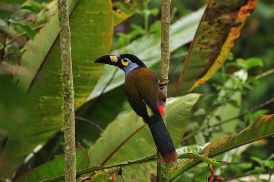 Tandayapa, Ecuador: toucan