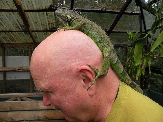 Green Iguana Conservation Project: iguana on bald head