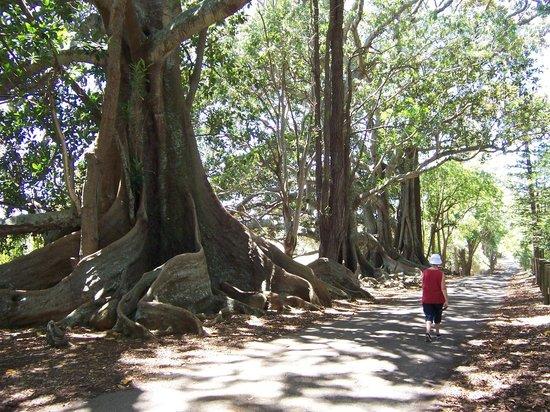 Large Fig Trees On Norfolk Island